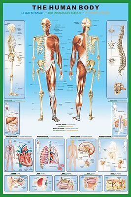 The Human Body - Brand New Educational Maxi Poster 91.5 x 61cm