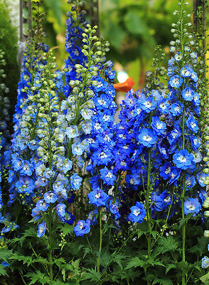 Delphinium Blues Mix  101 Seeds  Pacific Giants Tall Beautiful Huge Flowers