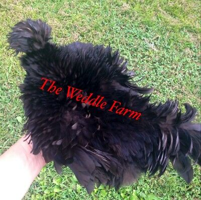 6 + Silkie Sizzle Frizzle Showgirl hatching eggs NPIP KY PROUD AI CLEAN
