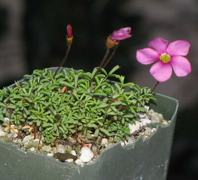 Oxalis glabra MV 7330 charming tiny leaves, large bright pink flower, slow