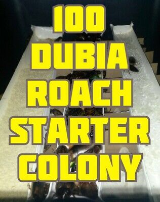 100 Dubia Roaches Starter Colony Water Crystals Chow 15 Adults, 100 mixed nymphs