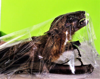 Greater Short-nosed Fruit Bat Cynopterus sphinx Back View FAST FROM USA