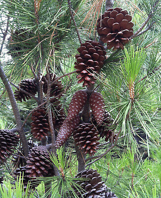 15 Large Pine Cones pinecones Great for Christmas decorations Natural