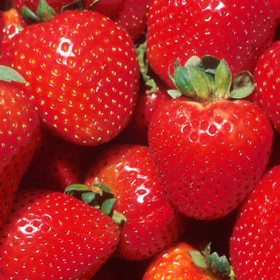 Strawberry 'Marshmello' Fast Growing Bare Root Garden Bush Fruit Plants