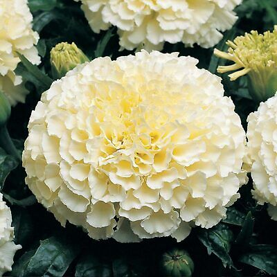 AFRICAN MARIGOLD (Tagetes Erecta Cream White) 40 seeds (#1503)