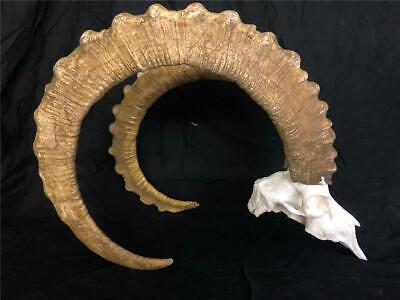 Giant Mid Asian Ibex Sheep Bighorn Repro Horns   Antlers Antler Taxidermy
