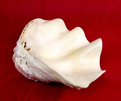 Superb OLD GIANT CLAM LARGE SEASHELL TRIDACNA GIGAS Garden Decor