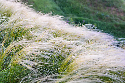 MEXICAN FEATHER GRASS 100 SEEDS STIPA TENUISSMA, ORNAMENTAL, hardy perennial