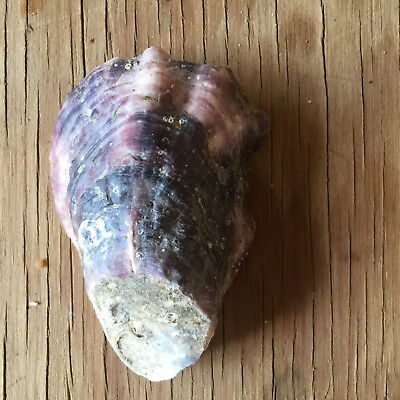 Australian Sydney Rock Oyster Shell Actual Purple Natural Organic Crafts Art #40