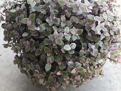 Pink Panther/ Rosato Callisia Repens Plant x3 plant/ Stem Cutting Is The