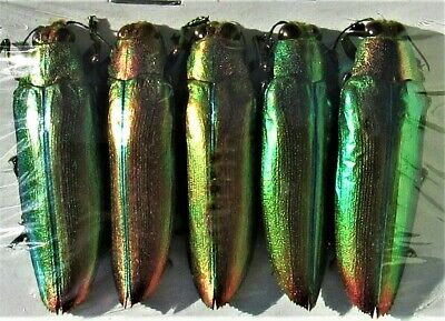 Lot of 5 Pretty Jewel Beetle Chrysochroa aurora Great For Jewelry FAST FROM USA