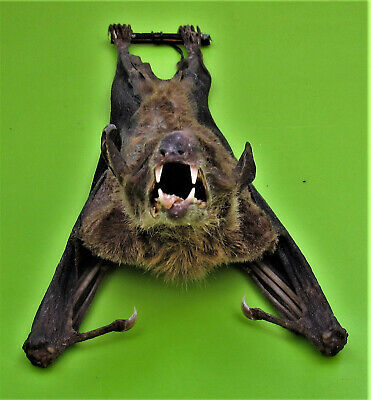 Cave Nectar Bat Eonycteris spelaea Hanging  Back View FAST FROM USA