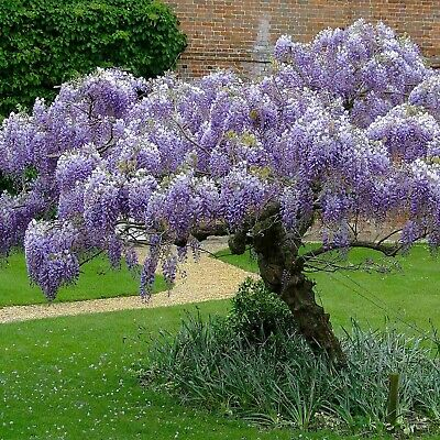 CHINESE BLUE WISTERIA (Wisteria Sinensis) 5 seeds (#85)