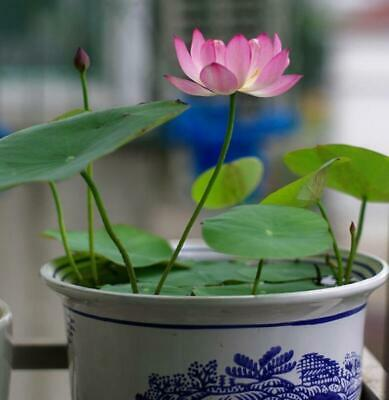 Lily 20 Seeds seeds Seed Garden Aquatic Lotus Bowl mixture Water Plants Flower