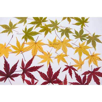 Real Pressed Japanese Maple Leaves (10 pack)