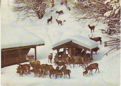 Germany (W) - Deer Farm in the Winter (Post Card) 1977