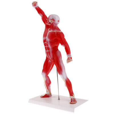1:4 Scale Human Superficial Muscle Torso Body Anatomical Model Lab Ornament
