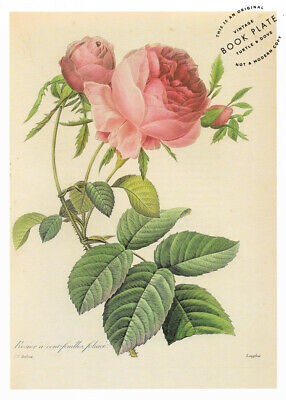 """P.J. Redoute Vintage Rose Book Plate Page French Country Decor 8x11"""""""