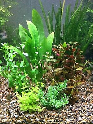 HARDY AQUARIUM PLANTS MIX BUNCHED x 6  Live Tropical Aquatic Fish Tank