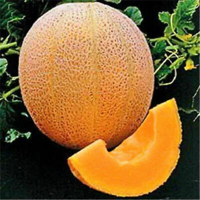 20PCS Japan Hami Melon Seed Cantaloupe Green Fruit Vegetable Bonsai Potted Plant