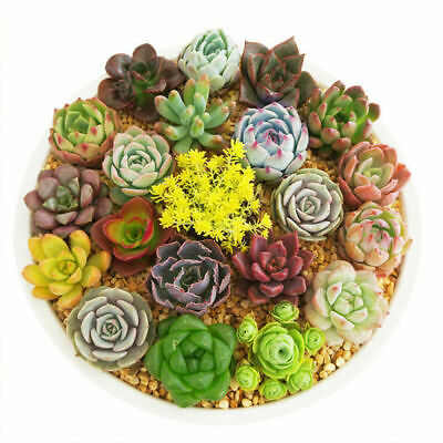 800pcs Mixed Succulent Seeds Lithops Rare Living Stones Plants Cactus Home Plant