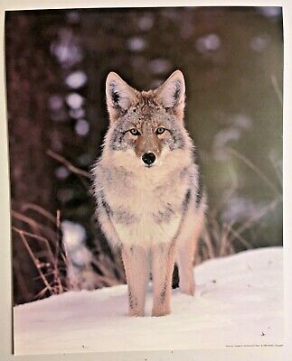 1988 Wolf Wildlife Lithograph Poster Print Standing in Snow Vintage Wall Art New