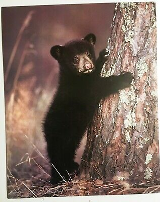 1984 Baby Black Bear Cub Hugging Tree Poster Print Vintage Wall Art New Hugger