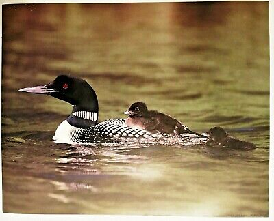 1987 Black White Duck 2 Babies Wildlife Lithograph Poster Print Vintage Wall Art