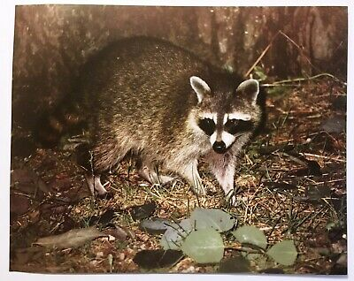 1982 Raccoon in Grass Wildlife Lithograph Poster Print Vintage Wall Art New NOS