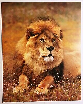 Lion Lithograph Poster Print Impact #1180 Vintage Wall Art New NOS Nature Wild