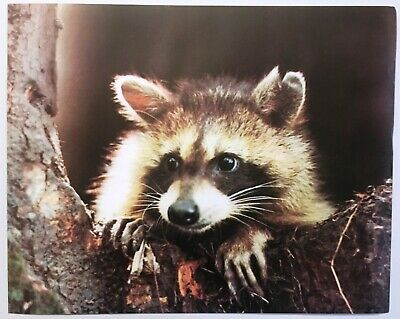 1980 Raccoon Face Lithograph Poster Print Vintage Wall Art Herb Lange Wildlife