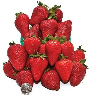 Albion Everbearing Strawberry Pack of 25
