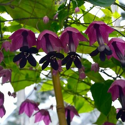 PURPLE BELL VINE (Rhodochiton Atrosanguineus) 15 seeds (#1417)