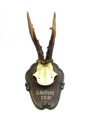 Rare Austrian roebuck antler on antique wooden plaque