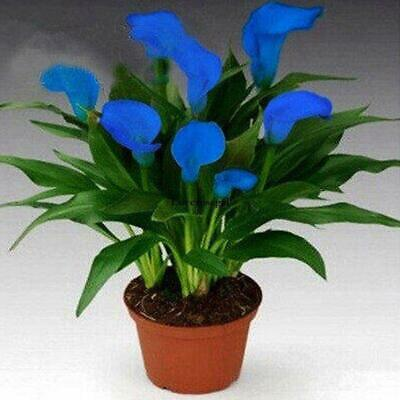 Bulbs True Calla Lily Bulbs Calla Bulbs Not Calla Lily Seed Flower Root Ornament