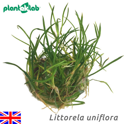 Live Aquarium Plants In Vitro Shrimp Safe UK - Littorella uniflora