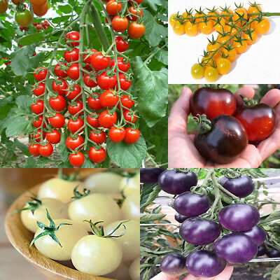 Seeds Cherry Tomato Tree Red Black White Yellow Vegetable Organic Heirloom