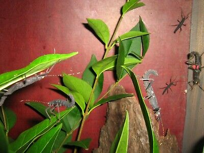"Peruphasma schultei stick insect , ""Black Beauty"" eggs 25 pcs."