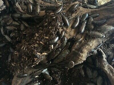 Lobster Roaches Mixed Lot W/Nymphs & Adults