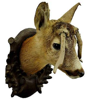 an antique deer head taxidermy with abnormous antlers