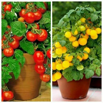 Seeds Tomato Balcony Miracle Red Yellow Vegetable Heirloom Ukraine