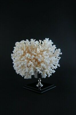 A beautiful white coral mounted on brass display stand