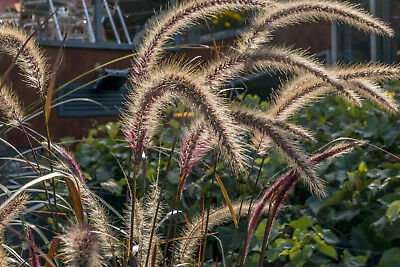 Black Fountain Grass,*107 Seeds, Hardy Perennial, Ornamental Grass, *pennisetum*