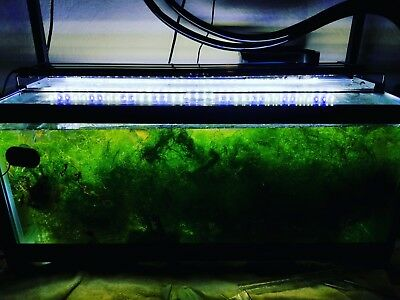 Deluxe Java Moss (HUGE BASEBALL SIZE PORTION)(**BUY 2 GET 1 FREE**)USA Grown