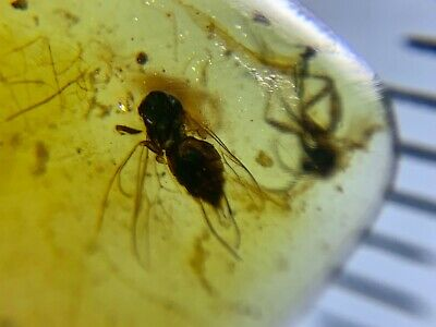 unique fly&mosquito Burmite Myanmar Burmese Amber insect fossil dinosaur age