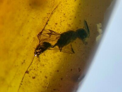 unique ancient wasp bee Burmite Myanmar Burmese Amber insect fossil dinosaur age