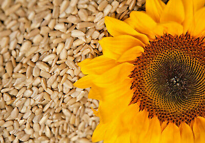 Organic Raw Sunflower Seeds 75 gm, Sprouting or Roasting These shelled