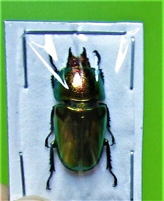 Lot of 2 Mount Arfak Stag-Beetle Lamprima adolphinae Female FAST FROM USA