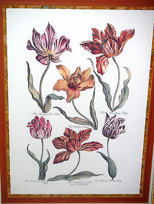 John Hill, Large Antique Fine Botanical Engraving Print, TULIPS, Framed Plate 34