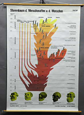 fantastic school wall chart picture, evolution, family tree, great apes, humans